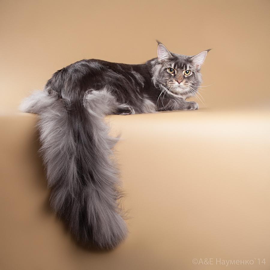 Окрасы кошек и коды окрасов рисунки tabby Коды пород кошек